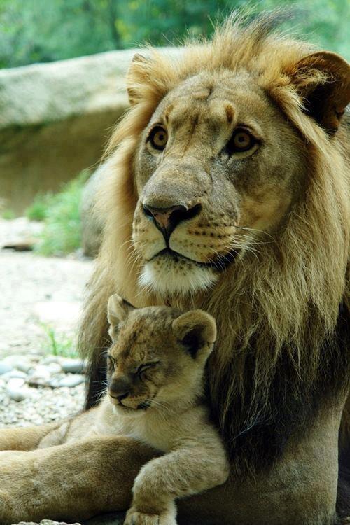 pai e filho leão