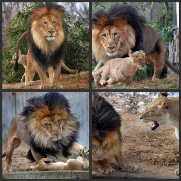 pai leão
